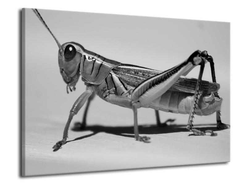 Glas schilderij Sprinkhaan | Grijs, Zilver, Wit | 70x50cm 1Luik